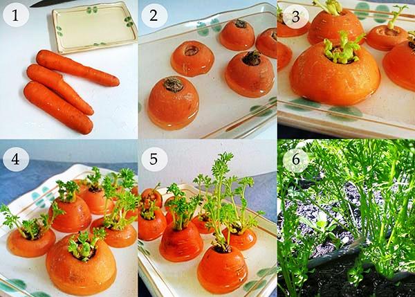 cách trồng lại cà rốt