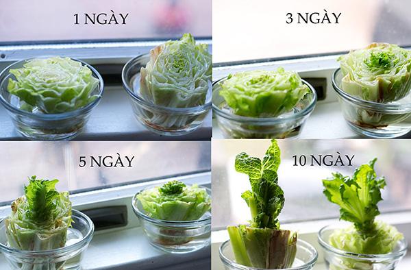 Cách trồng lại rau diếp lá dài
